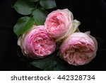 Stock photo three flowers of beautiful vintage double pink roses called eden rose on black background 442328734