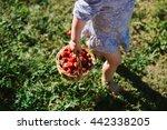 Child Picking Strawberries....
