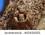 A Grey Squirrel Peers Out Of A...