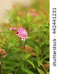 Small photo of Flower of Spiraea japonica