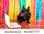 Stock photo french bulldog 442507777