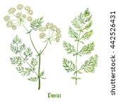 herbs. watercolor illustration. ... | Shutterstock . vector #442526431