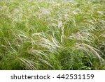 Field Grass Feather Grass On A...