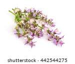 Salvia Sclarea  Clary  Or Clar...