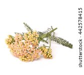 Small photo of Yarrow (Achillea millefolium) on white background