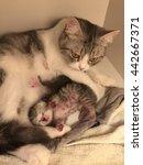 mom cat hug her kitten | Shutterstock . vector #442667371