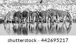 Herd Of Burchells Zebra  Equus...