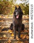Small photo of Black Belgian Shepherd Groenendael Autumn Portrait