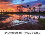 beautiful sugar palm tree with... | Shutterstock . vector #442761367