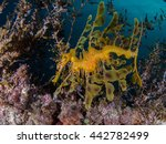 Leafy Sea Dragon At Rapid Jett...
