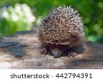 Young Hedgehog Curled Up To...