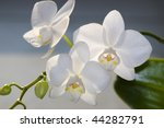 Three Flowers Of White Orchid