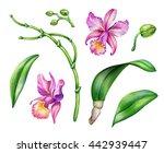 watercolor illustration  orchid ...   Shutterstock . vector #442939447