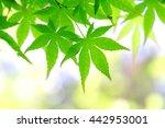 japanese maple trees | Shutterstock . vector #442953001
