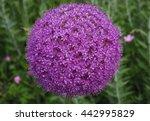 Giant Purple Allium Flower...
