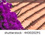 Bougainvillea Flower. Turkey....