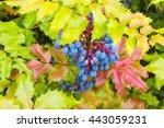 oregon grape bush on a spring...   Shutterstock . vector #443059231