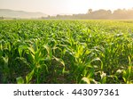 Corn Field In Early Morning...