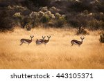 Herd Of Springbok In Namibia