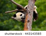 funny panda bear.  comical... | Shutterstock . vector #443143585