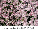 white and pink phlox in... | Shutterstock . vector #443159341