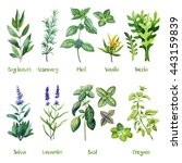 herbs. watercolor illustration. ... | Shutterstock . vector #443159839