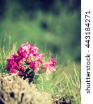 Small photo of Pink rhododendron (alpine rose) flower blossom on the hillside, vertical image
