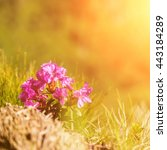 Small photo of Pink rhododendron (alpine rose) flower in sunlight, nature background