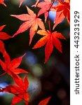 japanese maple | Shutterstock . vector #443231929