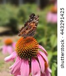 Small photo of Echinacea flower with an American Lady butterfly perched on it.