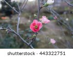 dramatic japanese quince tree... | Shutterstock . vector #443322751