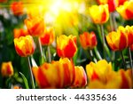 lots of multicolor tulips in... | Shutterstock . vector #44335636