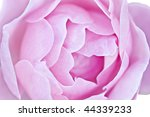 Macro of a beautiful pink rose with soft focus. - stock photo