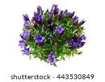 Flowerpot Of Blue Gentian On...