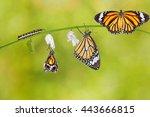 Transformation Of Common Tiger...