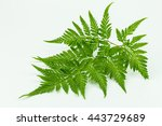 Fern  On White Background