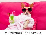 chihuahua dog relaxing  and... | Shutterstock . vector #443739835