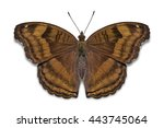 Stock photo close up of chocolate pansy junonia iphita butterfly dorsal view isolated on white background 443745064