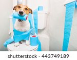 Stock photo jack russell terrier sitting on a toilet seat with digestion problems or constipation looking very 443749189