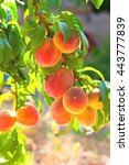 Peach Tree With Fruits