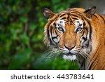 Tiger looking at me.