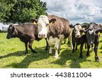 Herd Of Cows Look At The Camera