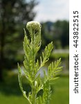 Small photo of Yarrow, Fernleaf yarrow (Achillea filipendulina) in the meadow