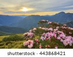 Small photo of Beautiful sunrise scenery of Hehuan Mountain in central Taiwan in springtime, with view of lovely Alpine Azalea ( Rhododendron ) blossoms on grassy fields and dramatic golden clouds in the background