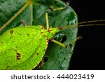 Katydid Of Borneo   Green...