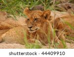 lions in the sabi sand game... | Shutterstock . vector #44409910