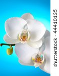 White orchid on gradient blue background - stock photo