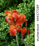 Small photo of Canna L. ,Gaiety, hybrid flower.