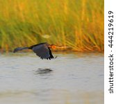 Small photo of African darter flying over river