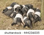 Group Of Piglets Sleeping On...